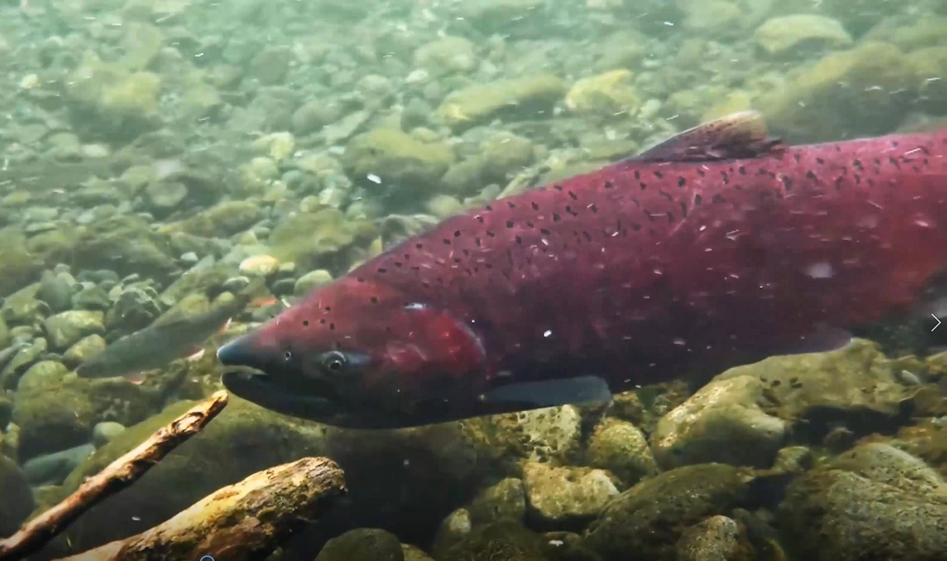 Salmon Fest On-Line