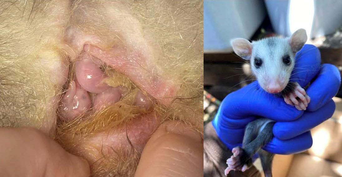 infant opossum